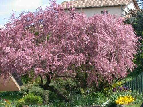 Tamarix Tetrandra Bare Root Dormant Garden Shrub Plant Tree Bush