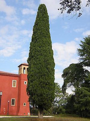 Cupressus Sempervirens var Stricta 20 Seeds Cypress Male Mediterranean
