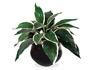 NUDELL T7960 Plant, 6 inch, Hosta, Green