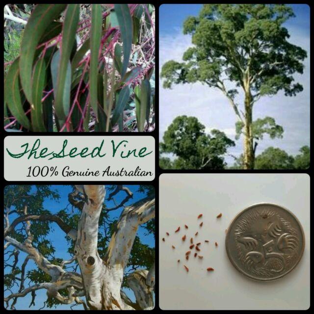 100+ RIVER RED GUM TREE SEEDS (Eucalyptus camaldulensis) Native Hardy Bonsai