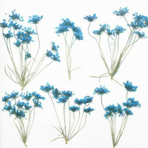 Real Pressed Flower Dried Flowers for Arts Crafts Resin Jewelry Making Ornament