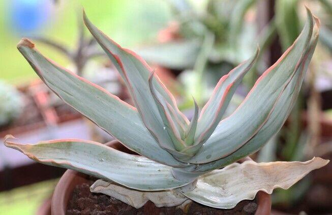 10 aloe striata Cactus seeds semi Flowers Seed korn