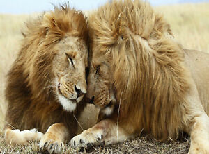 Lions-Canvas-Wall-Art-Picture-Print-VARIOUS-SIZES