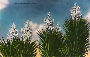 YUCCA-IN-BLOOM-FLORIDA-1940s-VINTAGE-LINEN-POSTCARD-Free-Shipping