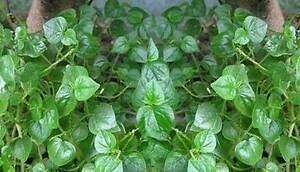 pansit pansitan herbal use