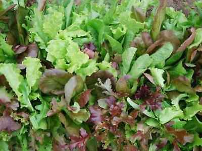 """LETTUCE SEEDS """"MESCLUN MIX""""(APPROX 500 SEEDS)"""