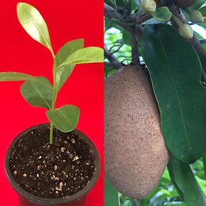 Sapodilla-Manilkara-Zapota-Chiku-Makok-Tropical-Tree-Starter-PLANT-Seedling
