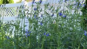 SALVIA-ULIGINOSA-VERY-TALL-CLEAR-BLUE-BUTTERFLIES-LATE-SUMMER-BORDER-FILLER
