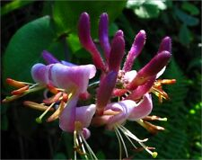 Pink Honeysuckle - Lonicera Hispidula - 25 seeds - Climbing Shrub