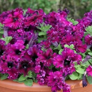 Petunia-Seeds-Espresso-Frappe-Ruby-50-Pelleted-Seeds-GREAT-FOR-HANGING-BASKETS