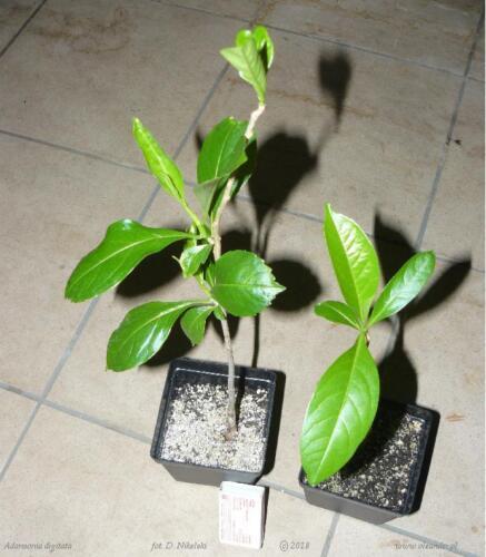 Adansonia Digitata 1 plante en pot-pas d/'expédition aux États-Unis 1 Véritable BAOBAB Plante
