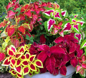 COLEUS-BLUMEI-EVEREST-FORMULA-MIX-130-SEEDS-EXOTIC-PLANT-SEEDS