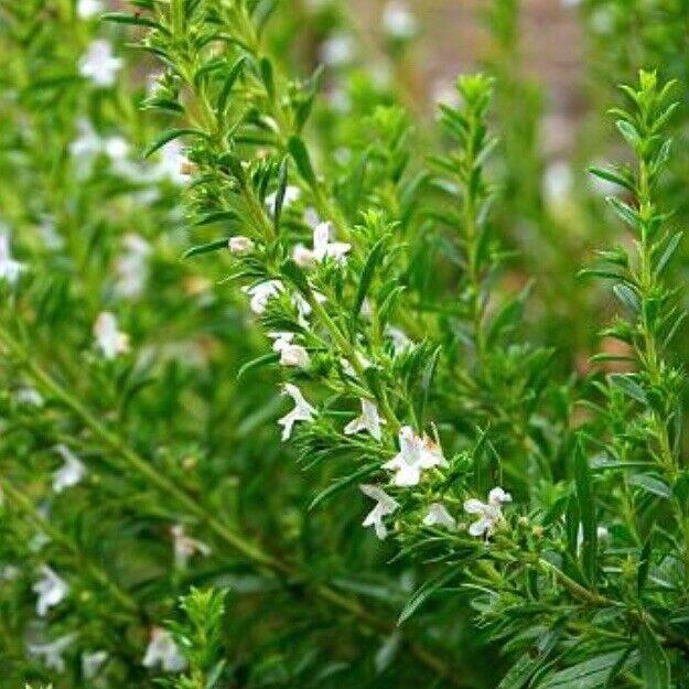 'Winter Savory' 50 Seeds, Savoury