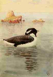 A4 Photo Brooks Birds of California 1923 Ancient Murrelet Print Poster - Somerset, United Kingdom - A4 Photo Brooks Birds of California 1923 Ancient Murrelet Print Poster - Somerset, United Kingdom