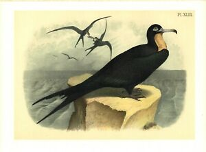 THE-FRIGATE-OR-MAN-OF-WAR-BIRD-KNOWN-AS-EAGLE-OF-THE-SEA-STUDER-039-S-ORNITHOLOGY