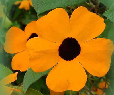 30 BLACK EYED SUSAN VINE Thunbergia Alata Flower Seeds + Gift & Comb S/H
