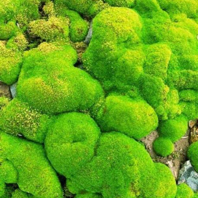 100pcs Green Moss Seeds Rare Exotic Viable Bonsai Plant Decorative Garden