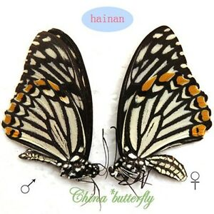 unmounted-butterfly-PAIR-Chilasa-clytia-f-dissimilima