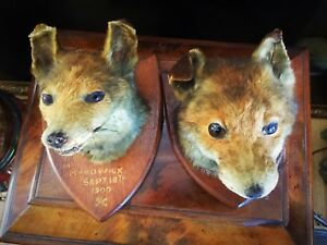 ## Wild Boar or Red Fox NATURAL teeth # for jewelry making #taxidermy trophy #