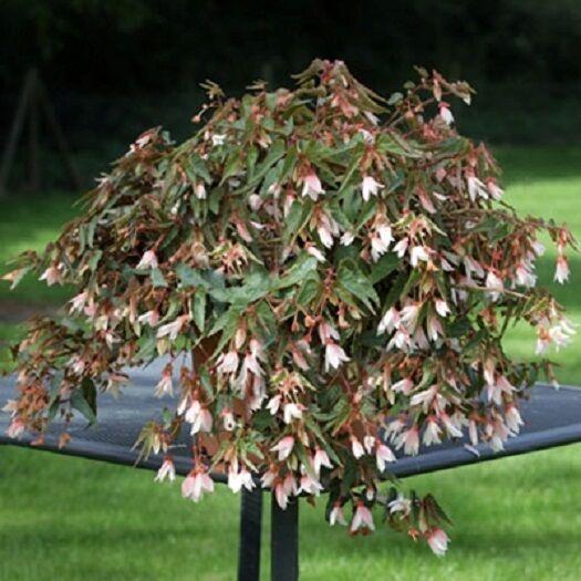 15 Pelleted Begonia Seeds Begonia Bossa Nova White Trailing Begonia
