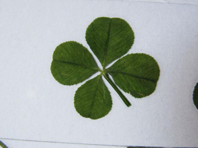 Fêtez l'été : Un joli trèfle à 4 feuilles porte bonheur