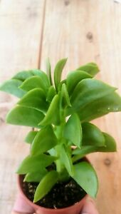 Peperomia Dolabriformis Planta Suculenta 5,5 Cm Pot Succulent Plant