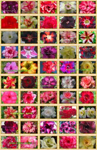 """Adenium Obesum DESERT ROSE /""""Mixte 50 Types/"""" 5,000 graines RARE!!!"""