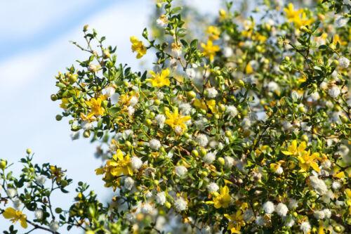 Garten Pflanzen Samen winterharte Zierpflanze Saatgut Staude Strauch CHAPARRAL