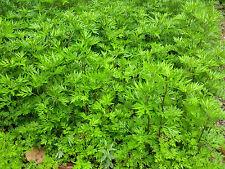 Artemisia - 1500 semi-Artemisia vulgaris eccezionali malvagio