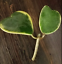 Hoya-young-house-plant-or-unrooted-cutting Indexbild 24