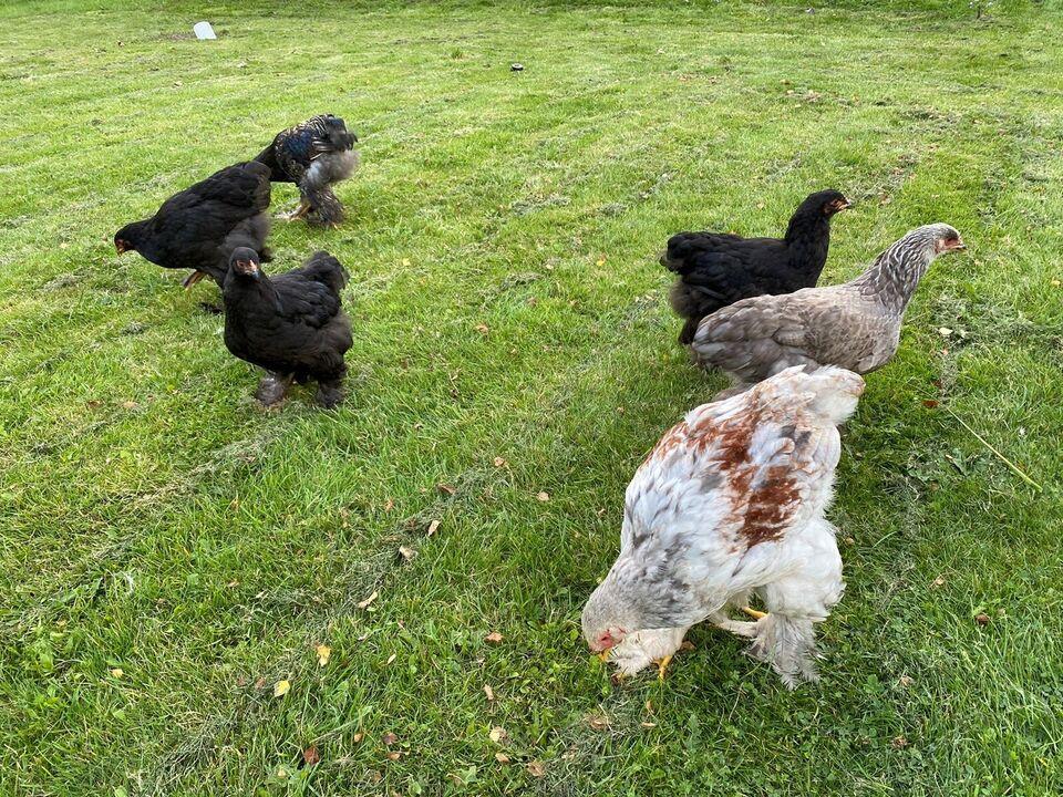 Høns, 12 stk.