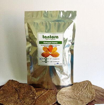 50pcs x Tantora Premium Grade Catappa Indian Almond Leaves MEDIUM Size13-18cm