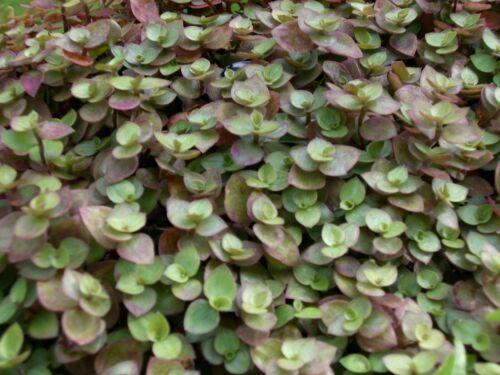 bolivian jew turtle vine 5cm 3 rooted cuttings Callisia repens