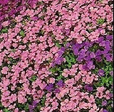 Flower - Aubrieta Hybrida - Cascade Mixed - 200 Seeds