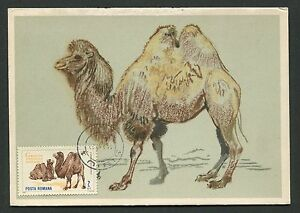 Belle Romania Mk 1964 Faune Chameaux Chameau Camel Maximum Carte Maximum Card Mc Cm D2580-afficher Le Titre D'origine Haute SéCurité