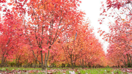 Acer x freemanii AUTUMN BLAZE HYBRID RED MAPLE TREE Seeds!