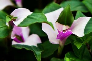 Tradescantia-Fluminensis-andersonia-Blushing-Bride-Succulent-1x-cutting-ROOTED