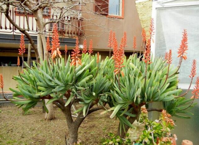 Aloe polyphylla 5 Seeds #9367 The Spiral Aloe