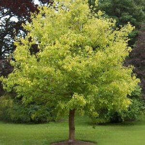Tree Seeds Maple Acer Negundo From Ukraine Ebay