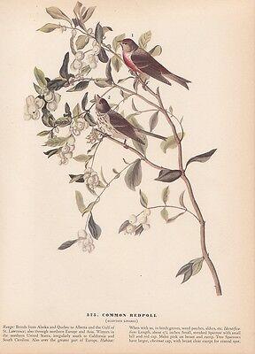 "1942 Vintage AUDUBON BIRDS #375 /""COMMON REDPOLL/"" BEAUTIFUL Color Art Plate Litho"