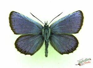 Argento-Borchiato-Farfalla-Blu-Plebejus-Argus-Set-x1-Maschio-Russia-j01