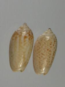 Oliva-todosina-lepida-Uncommon-Nice-set