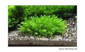 live aquariumpflanzen/moos auf gitter/easy/eu angebaut/high quality/alle arten
