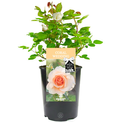 Coral Wedding Rose 35th Wedding Anniversary Gift Live Rose