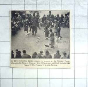 1935 Judging In Progress At National Terrier Championship Show Olympia