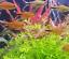 x3-Ammania-Gracilis-Potted-Freshwater-Live-Aquarium-Tropical-Plant-Decorations thumbnail 5