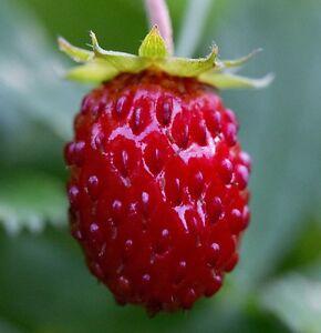 Fragaria vesca 50 Samen Echte Wald-Erdbeere Walderdbeere sehr schmackhaft