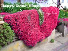 ROCK CRESS CASCADE RED - 300 SEEDS - Aubrieta cultorum hybrida - ROCKERY FLOWER