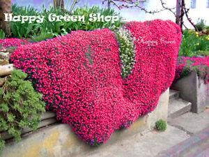 ROCK-CRESS-CASCADE-RED-300-SEEDS-Aubrieta-cultorum-hybrida-ROCKERY-FLOWER