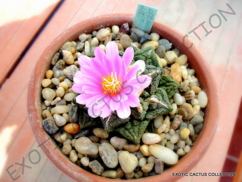 10 seeds Ariocarpus retusus LIVING ROCK CACTUS